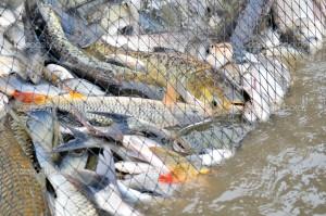 Nets full of fish